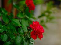 薔薇が咲いた - デジタルで見ていた風景