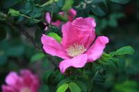 わが家に咲く花 (撮影日:2017/5/26) - toshiさんの気まぐれフォトブログ