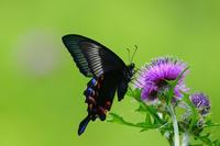 アザミに集う蝶 カラスアゲハのメス Byヒナ - 仲良し夫婦DE生き物ブログ