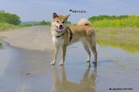 泥んこ水たまりでにんまり - ♪バニデビーグルデイ + 赤柴の ほとり