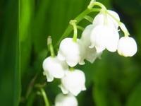 鈴蘭 - 自然からの贈り物/草木染め