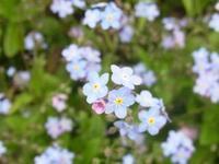 忘れな草 - 自然からの贈り物/草木染め