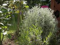 ラベンダーって虫除けになるのでしょう? - 虫と一緒にバラ育て バラと虫たちの世界 小さな庭で