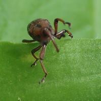 トホシオサゾウムシ  Aplotes roelofsi - 写ればおっけー。コンデジで虫写真