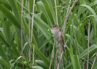 近隣の川で、、 - ぶらり探鳥