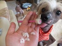 歯みがきグッズを食べる子 - 毎日笑顔♪ 裸犬☆温・真珠・絆愛Ⅱ
