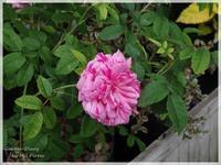 Georges Vibert - Garden Diary