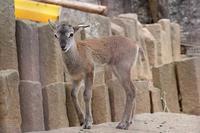 ムフロンの赤ちゃん - 続々・動物園ありマス。
