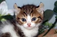 子猫アメリカンカール販売中/ペットショップ/大崎市/加美町/色麻町 - 宮城・仙台ペットショップ鈴花