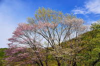 東北 残り桜 - 風の香に誘われて 風景のふぉと缶