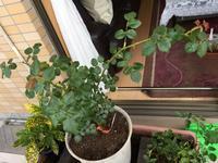 アブラハムダービーの植え替えと今季のバラたち - はまあやのくらし
