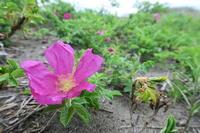 ハマナス咲いています! - 石狩浜観察日記