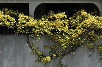 今年もハート形?黄モッコウバラ&#9825(5月4日) - Reon&Roses+Lara