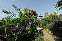 紫色のクレマチスと白い薔薇たち♪(5月8日) - Reon&Roses+Lara
