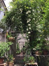ロサバンクシアエ 白モッコウバラが今年もきれいです! - イラストレーターMayuminの RoseGarden & Table
