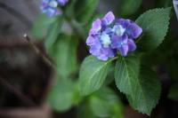 紫陽花が咲いた - little good things