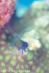 困った節穴ちゃん ~アマミスズメダイ幼魚~ - 池ちゃんのマリンフォト