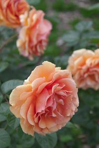 「オレンジ色の薔薇」 - hal@kyoto