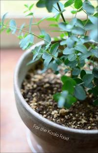 Eucalyptus - ハーブガーデン便り