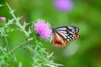 アザミに集う蝶 アサギマダラ Byヒナ - 仲良し夫婦DE生き物ブログ