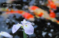 鯉と花菖蒲 - 花々の記憶