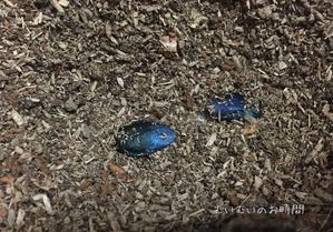 ルリゴキブリ(4)~碧玉と翠玉~ - むいむいのお時間