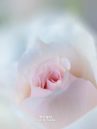 Le Roman de la Rose 薔薇物語 - 君に届け