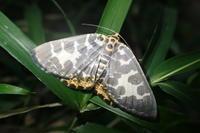 シロジマエダシャク  Euryobeidia languidata languidata - 写ればおっけー。コンデジで虫写真