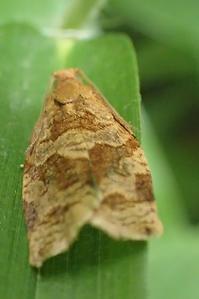 シリグロハマキ Archips nigricaudana - 写ればおっけー。コンデジで虫写真