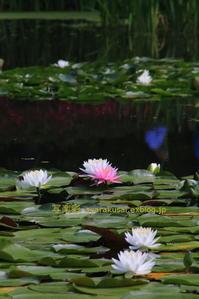 平安神宮の神苑に行く5 - 写楽彩