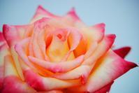 バラ・薔薇 Ⅲ - できる限り心をこめて・・Ⅲ