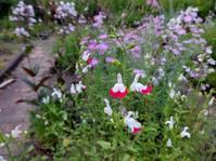 チェリーセージ - ろりぽりの花