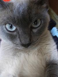 娘のトンキニーズ フローラちゃん御懐妊 - MINKWIN Cattery &Pretty Aki