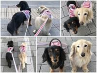 17年6月2日 コンラッド東京でのディナー♪ - 旅行犬 さくら 桃子 あんず 日記