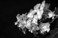 6.3 白花さん達 なので - LGの散歩写真