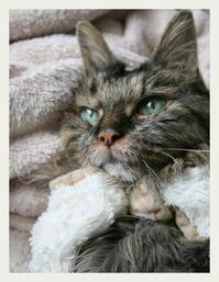 ご長寿猫 はんぞう との暮らし 「5月6日~5月10日の はんぞう」 - たびねこ