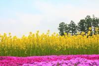 三島さん家ちの芝桜(倶知安町) - 北海道photo一撮り旅