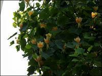 花はチュウリップに似ている - じょんのび
