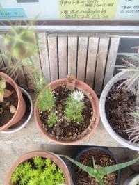 ☆最近の小さな鉢植えスペース便り☆ - ガジャのねーさんの  空をみあげて☆ Hazle cucu ☆