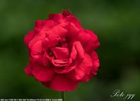 薔薇 ・・・ - ぶらりカメラウォッチ・・