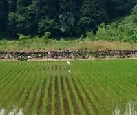 ずっと水田に・・・ - 金沢犀川温泉 川端の湯宿「滝亭」BLOG