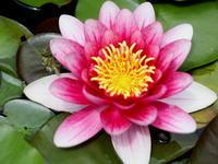 睡蓮の花が咲きました。 その1 - 自然がいっぱい3