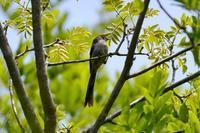 エナガの幼鳥 Byヒナ - 仲良し夫婦DE生き物ブログ
