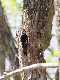 アカゲラもいました。 - コーヒー党の野鳥と自然 パート2