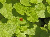 ミントの葉にナナホシテントウ - 虫と一緒にバラ育て バラと虫たちの世界 小さな庭で