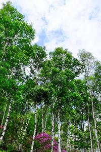 白樺林 - 長い木の橋