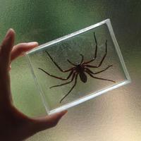 蜘蛛の標本 - 蝶と