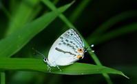 2017 西風の季節 2 - 紀州里山の蝶たち