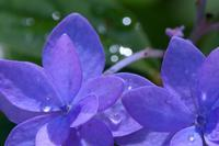 いよいよ関東地方も、紫陽花の見頃となりました(文京区、六義園) - 旅プラスの日記