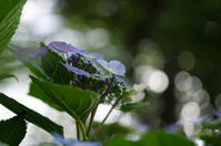 梅雨入り前に紫陽花 - akiy's  photo